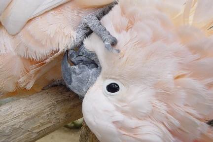 Moluccan cockatoo Lenexa veterinarian